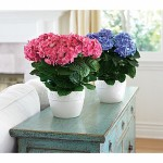 Flowers by Ann, Hydrangea White, Pink & Blue