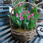 Spring Bulbs ~ Different Sizes & Prices Available