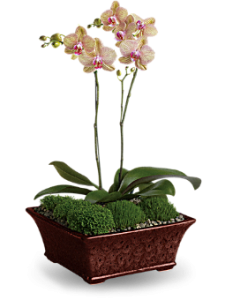 Single Orchid Plant Starts @ 49.95 & up
